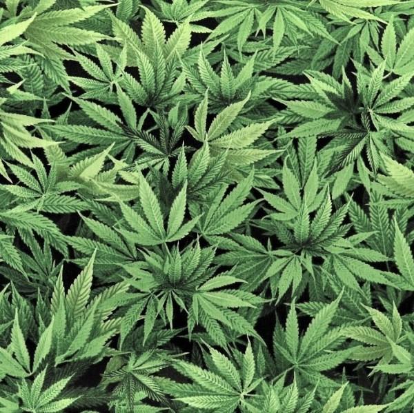 Hanf Blätter Stoff Cannabis Leaf